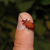 Cardinal beetle - Pyrochroa serraticornis, May
