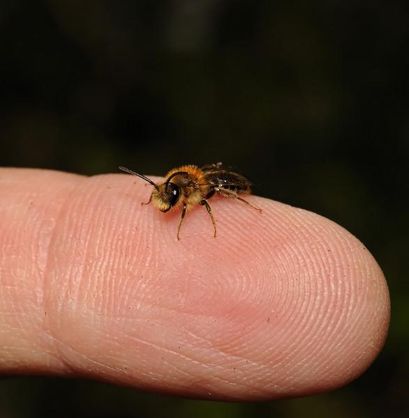 Andrena haemorrhoa male, April