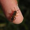 Nomada goodeniana female, April
