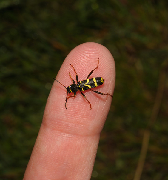 Wasp beetle - Clytus arietis, May