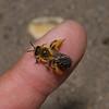 Dasypoda hirtipes female, July
