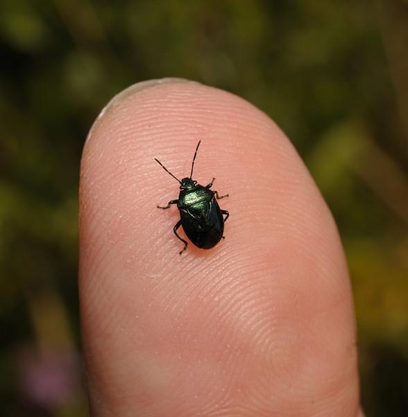 Blue Bug - Zicrona caerulea, July