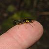 Sawfly - Tenthredo sp, May