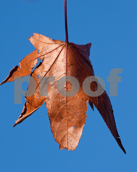 Just a fall leaf against the deep blue sky.
