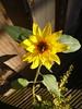 Coles Sunflower
