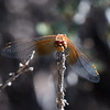 Band-winged Meadowhawk (Life Ode for me)