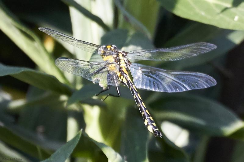 Pacific Clubtail