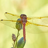Red-veined Meadowhawk (another view)