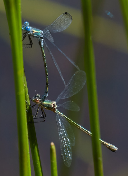 Emerald Spreadwings