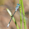 Emerald Spreadwing (Life Ode for me)