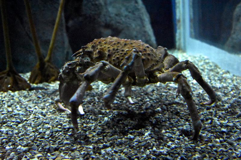 Misidentified_crab