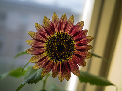 Office Sunflower