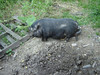 Ohio Vist <br /> Pot Belly Pig