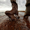 Plaquemines Parish coastal zone director P.J. Hahn lifts his boot out of thick beached oil at Queen Bess Island in Barataria Bay, just off the Gulf of Mexico in Plaquemines Parish, La., Saturday, June 5, 2010. (AP Photo/Gerald Herbert)
