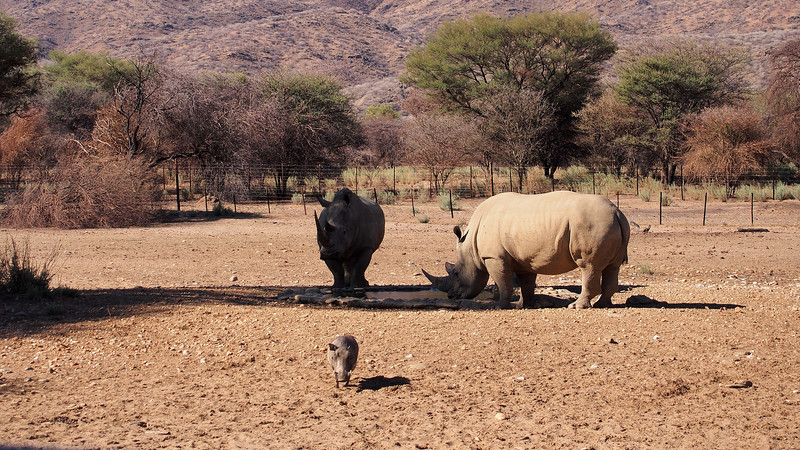 A Warthog saunters away from a pair of Rhinos.