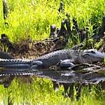 okeefenoke swamp