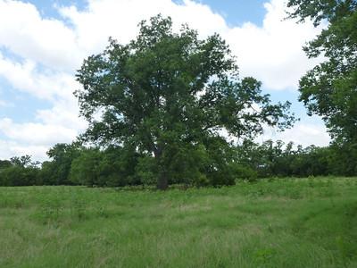 Pecan tree next to Alberta's garden