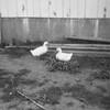 Two ducks on Joe and Vernie's  farm by Hokah.