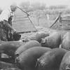 Joe Von Arx feeding pigs on his farm by Hokah, MN.