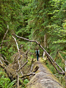 Vicki walking on a 150' fallen spruce log in the Olympic National Park.