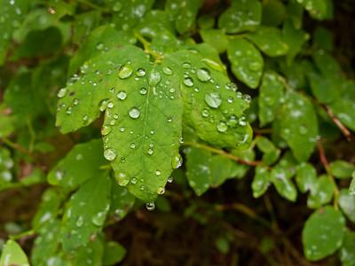 Raindrops on blueberry leaves, Olympic National Park, Washington.