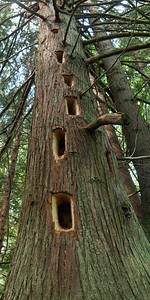 "Pileated woodpecker holes in a Western Red Cedar. Each hole is about 9"" long."