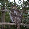 Owl, Barking (4)