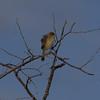 Cisticola, Golden-headed (1)