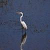 Egret, Eastern Great (1)