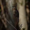 Cuckoo, Fan-tailed