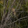 Cuckoo, Fan-tailed (2)