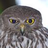 Owl, Barking (3)
