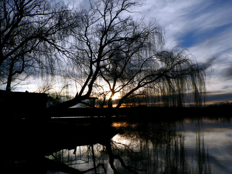 Sunset willow