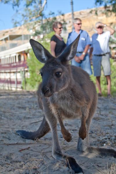 Kangaroo - princess