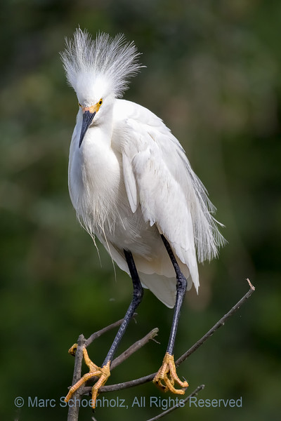 Snowy Egret in Breeding Plumage