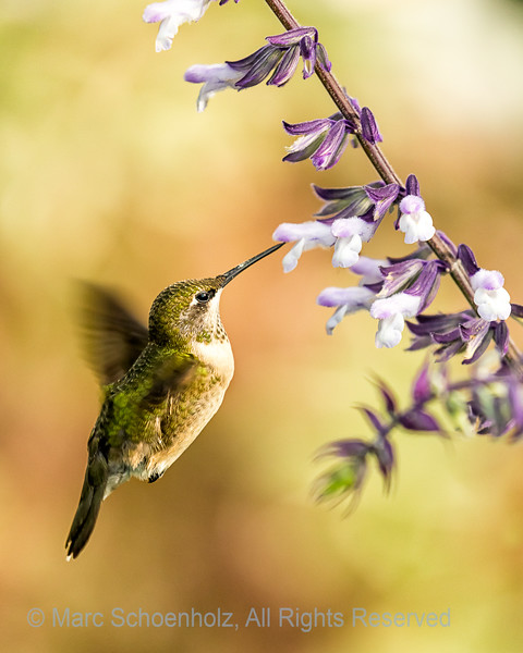 Ruby-throated Humming Bird