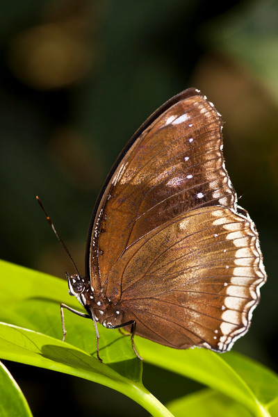 Brown butterly