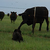Big black dog harasses big black cows - 3