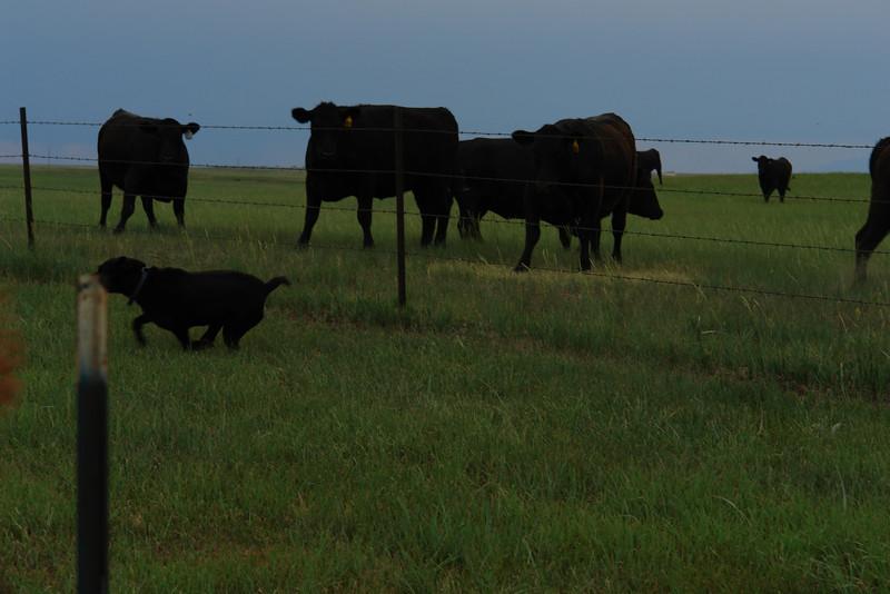 Big black dog harasses big black cows - 5