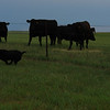 Big black dog harasses big black cows - 5
