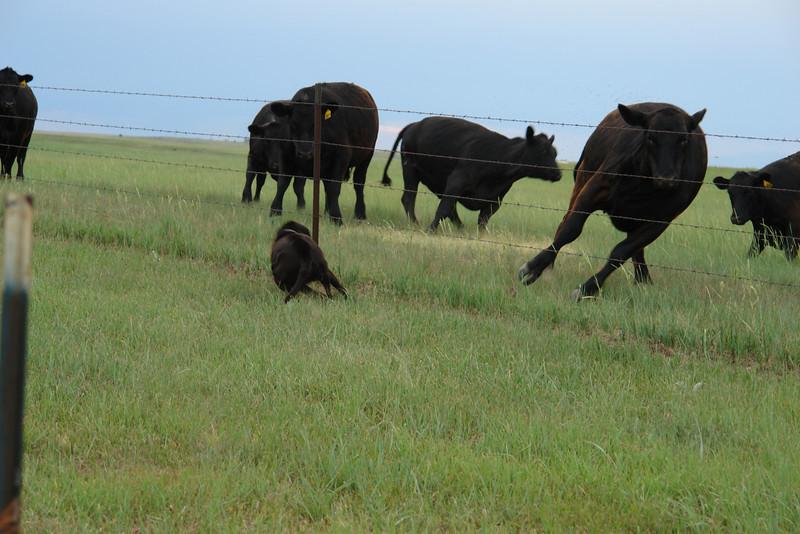 Big black dog harasses big black cows - 4