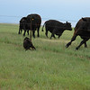 Big black dog harasses big black cows - 4