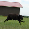 Big black dog harasses big black cows - 1