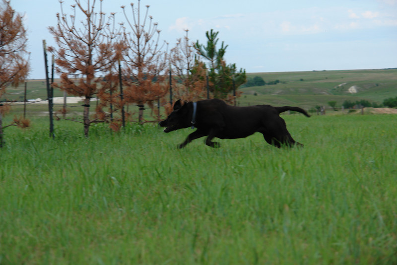 Big black dog harasses big black cows - 2
