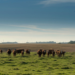 The Cows of Jackson County