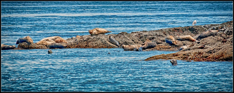 Sea Lions Sunbathing