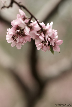 Orchard Blooming, 09