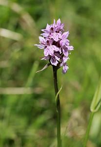 07.07.2012 -sentier botanique du Moléson Orchis tacheté ou orchis maculé Dactylorhiza maculata