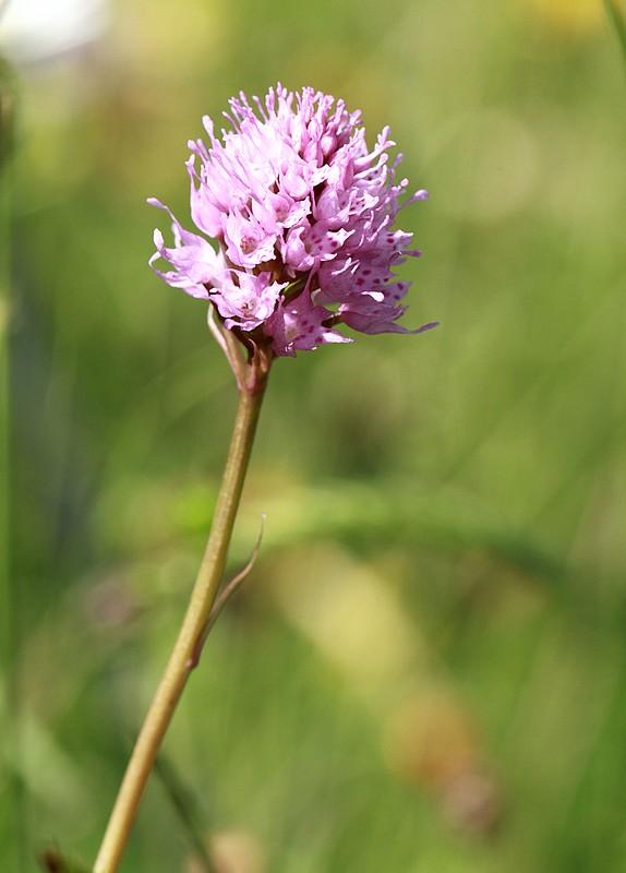 07.07.2012-Sentier botanique du Moléson Orchis globuleux