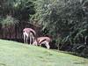Thomson's Gazelle Busch Gardens 25-09-2013 17-50-58